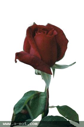 حينما تنطق الورود فماذا تقول